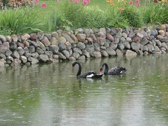 Толгский монастырь - Пара черных лебедей