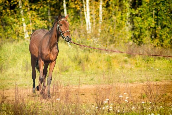Лошади - Аристократ. Работа на корде