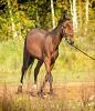 Лошади - Золотая осень. Аристократ