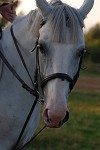 Иппотерапия в Иваново и Ивановской области - Дневник иппотерапевта - Лечебная лошадь Ника - Серая кобыла.